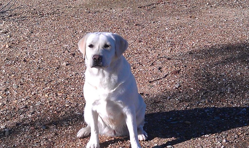 Bonnie Female Labrador