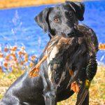 Presto Bayside Female Labrador